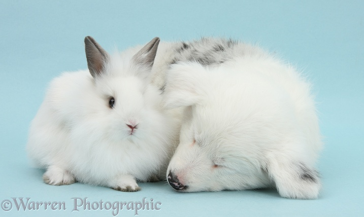 Mostly white Border Collie pup, Gracie, 8 weeks old, sleeping with white fluffy rabbit, on blue background