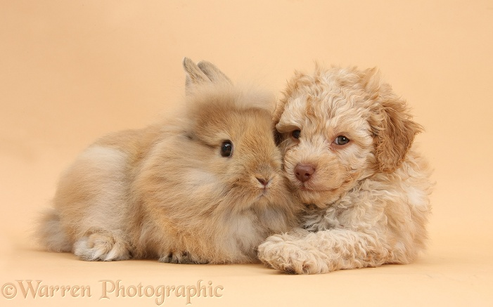Toy Labradoodle puppy and Lionhead-cross rabbit on beige background