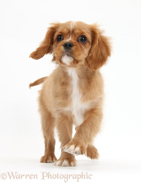 Ruby Cavalier King Charles Spaniel pup, Star, trotting forward, white background