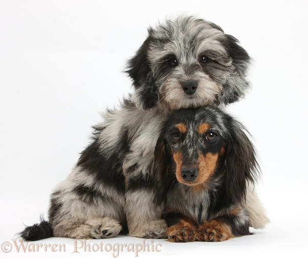 Fluffy black-and-grey Daxie-doodle pup, Pebbles, with black-and-tan Dachshund bitch, Puzzel, white background