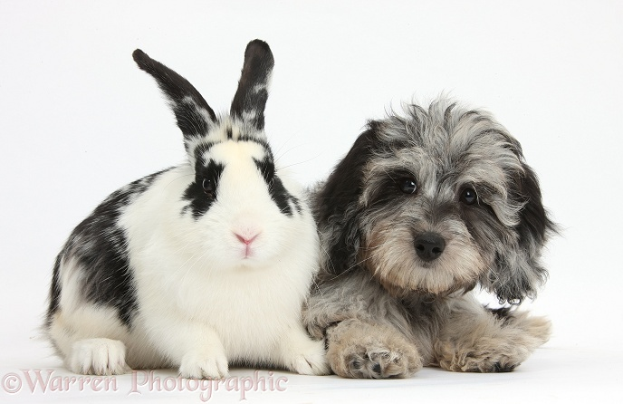 Fluffy black-and-grey Daxie-doodle pup, Pebbles, with black-and-white rabbit, Bandit, white background