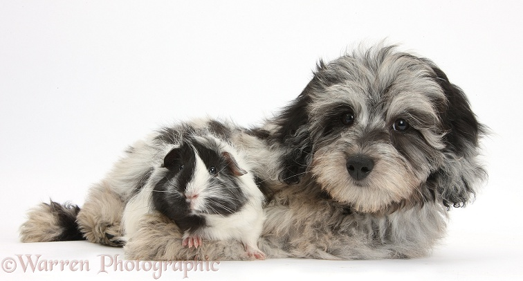 Fluffy black-and-grey Daxie-doodle pup, Pebbles, with black-and-white Guinea pig, white background