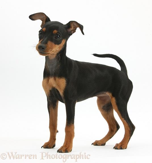 WP37374 Miniature Pinscher puppy , Orla , standing .