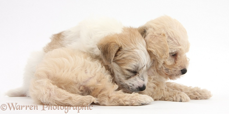 Two cute sleepy Bichon Frise x Yorkshire Terrier pups, 6 weeks old, white background