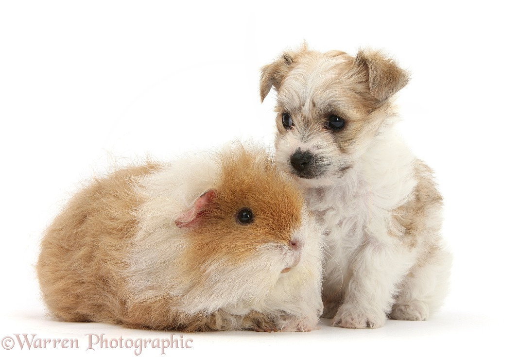 Bichon Frise x Yorkshire Terrier pup, 6 weeks old, and shaggy Guinea pig, white background