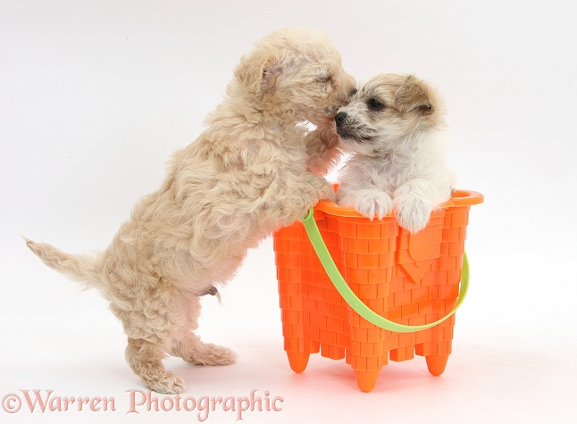 Bichon Frise x Yorkshire Terrier pups, 6 weeks old, playing with a seaside bucket, white background