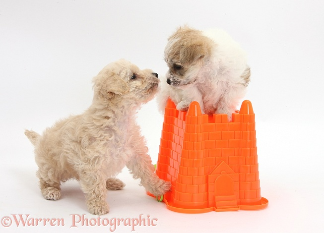 Bichon Frise x Yorkshire Terrier pups, 6 weeks old, playing I'm the king of the castle with a seaside bucket, white background