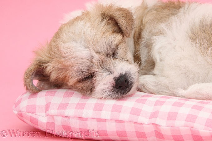 Bichon Frise x Yorkshire Terrier pup, 6 weeks old, asleep on pink gingham cushion