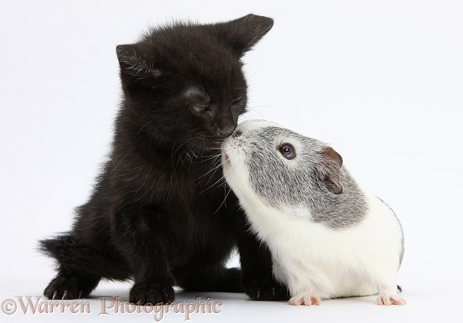 Black kitten and silver-and-white Guinea pig kissing, white background