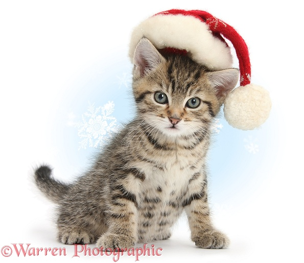 Cute tabby kitten, Stanley, 7 weeks old, wearing a Father Christmas hat, white background