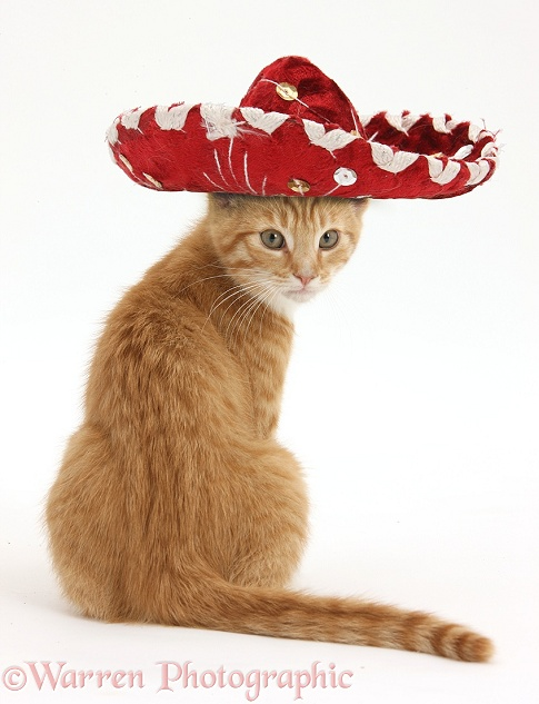 Ginger kitten, Tom, 3 months old, looking over his shoulder, wearing a Mexican hat, white background
