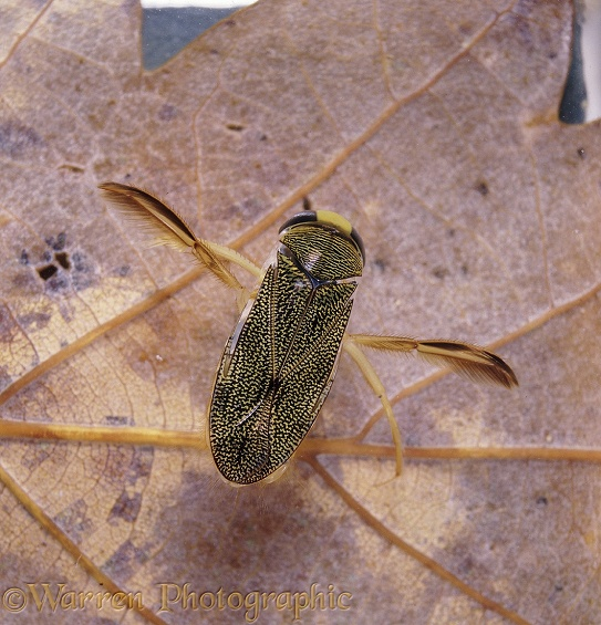Water Boatman (Corixa punctata) resting on a leaf at the bottom of a pond.  Europe