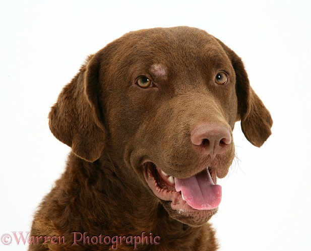 Chesapeake Bay Retriever dog, Teague, with patch of skin condition above his eye, white background