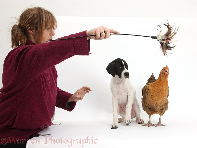 Britta assisting me with a Pointer puppy and chicken, white background