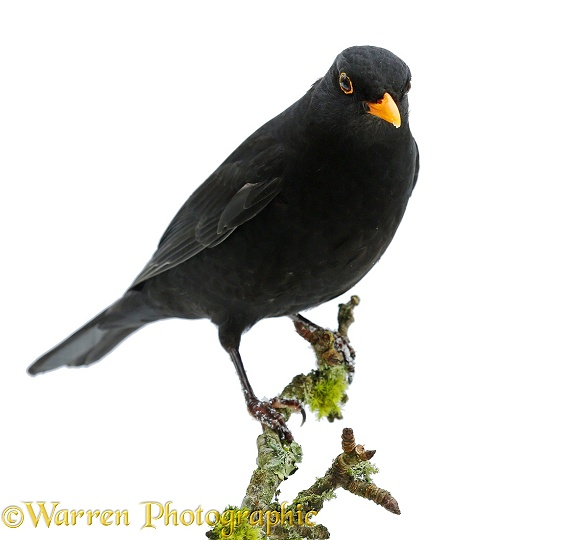 Blackbird (Turdus merula) cock, white background
