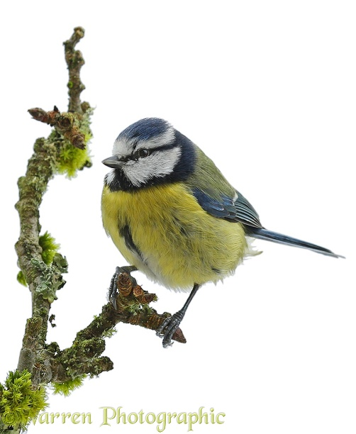 Blue Tit (Parus caeruleus) on apple twig, white background