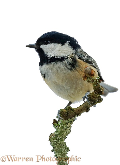 Coal Tit (Parus ater) on apple twig, white background