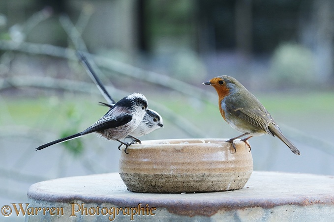 Long-tailed Tits (Aegithalos caudatus) with Robin (Erithacus rubecula) feeding from bowl