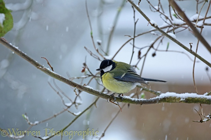 Great Tit (Parus major) in snow