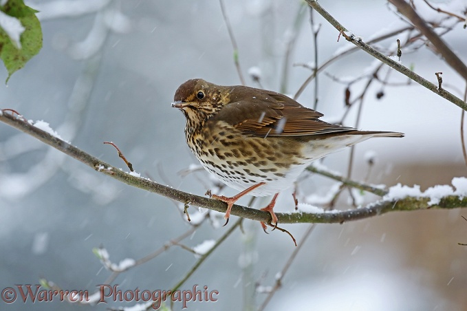 Song Thrush (Turdus philomelos) in snow