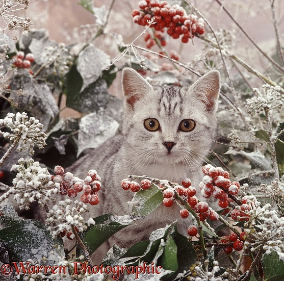 Portrait of silver-spotted kitten (Peregrine x Thisbe), 4 months old, among snowy holly berries and ivy flowers