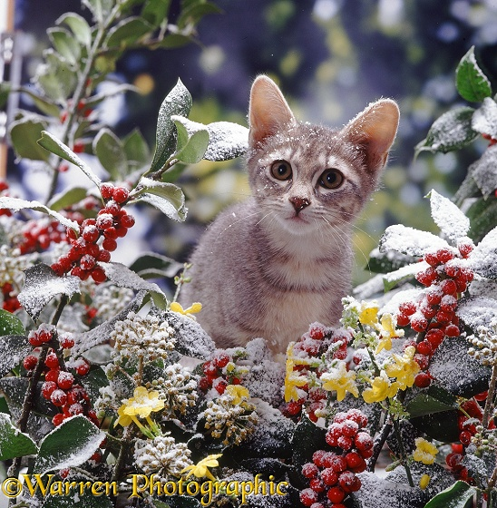 Portrait of blue tabby kitten among snowy holly berries with flowering winter jasmine