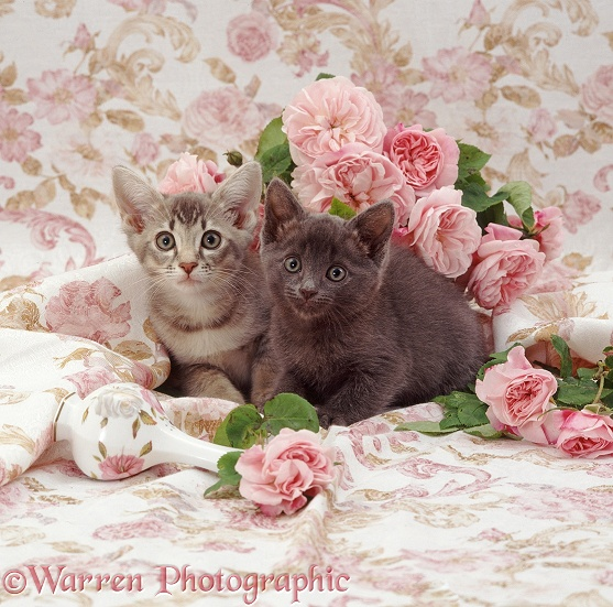 Blue and tabby kittens with pink roses