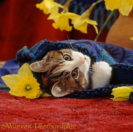 Tabby-tortoiseshell-and-white kitten, 10 weeks old, lying on its back in blue bag with daffodils