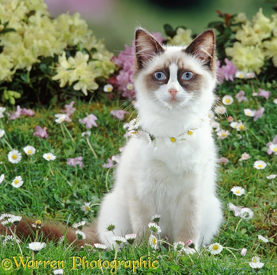 Ragdoll cat, Goggles, wearing a daisy chain
