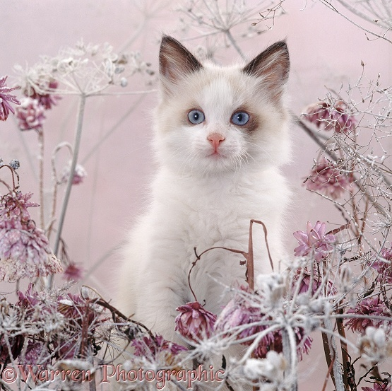 Blue-eyed bicolour ragdoll-cross kitten, Fergus, among snowy everlasting daisies and cow parsley deadheads