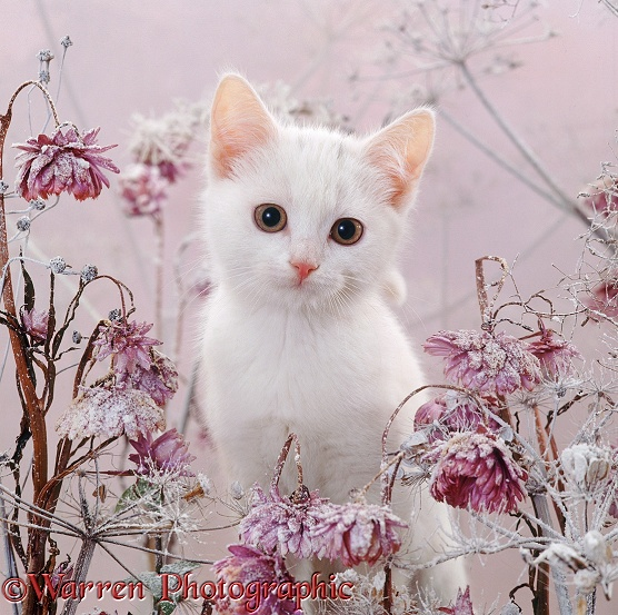 Amber-eyed white kitten, among snowy everlasting daisies and cow parsley deadheads