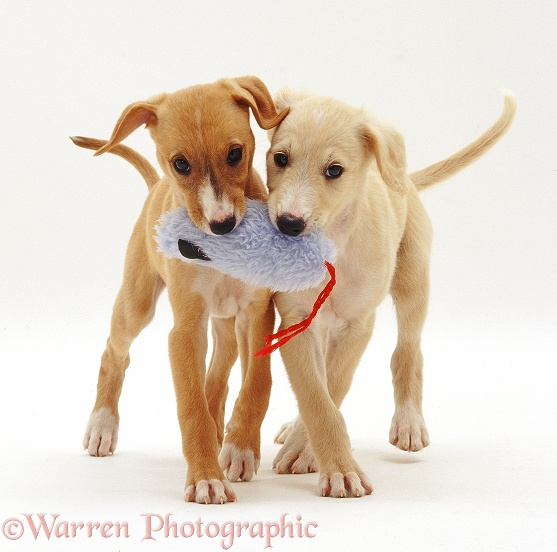 Yellow and Gold Saluki puppies, 12 weeks old, playing with a soft toy, white background
