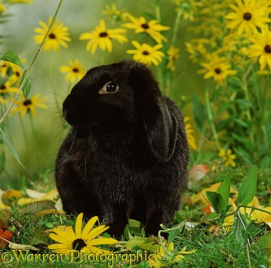Black Dwarf Lop doe rabbit and yellow flowers