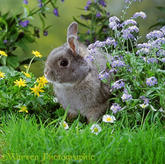Siamese Sable Dwarf rabbit among flowers