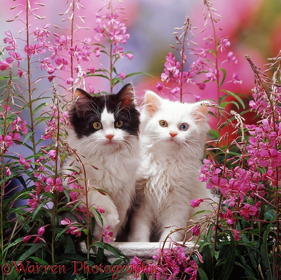 Odd-eyed white and black-and-white Persian-cross kittens (Cobweb x Annie) among Rosebay Willowherb