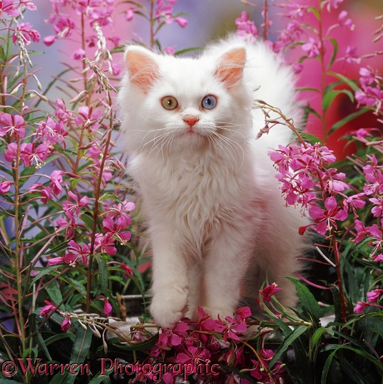 Odd-eyed white Persian-cross kitten (Cobweb x Annie) among Rosebay Willowherb