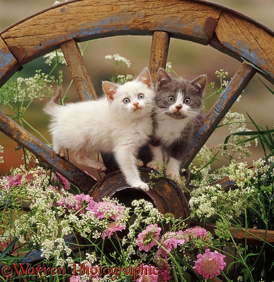 Colourpoint and blue bicolour kittens, 8 weeks old, on an old wagon wheel, with flowering Hedge Parsley and Scabious