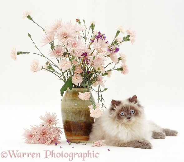 Blue colour-point Birman-cross cat, Scilla, lying by a vase of pink flowers, white background