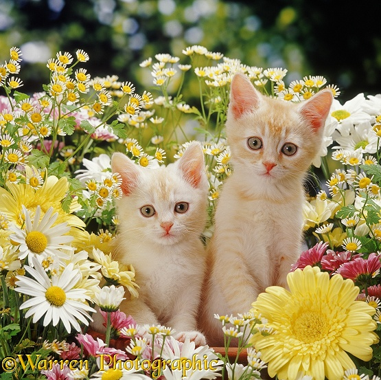 Two cream 'Burmilla' kittens among cream, yellow, white and pink daisies and Feverfew