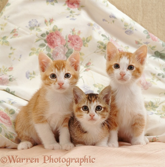 Ginger-and-white kittens on a bed with their tabby-tortoiseshell sister, 8 weeks old