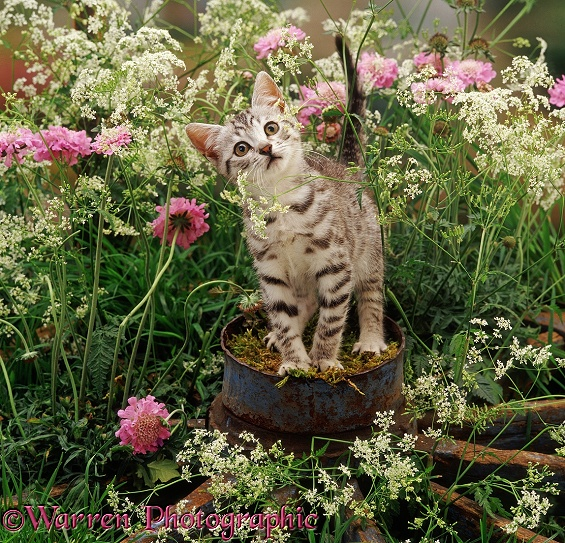 Silver spotted kitten Zeppelin, 9 weeks old, on the hub of an old wagon wheel. With flowering Hedge Parsley and Scabious