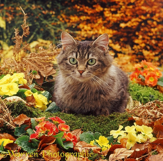 Longhair tabby cat, Mandy, among primulas and autumnal beech leaves