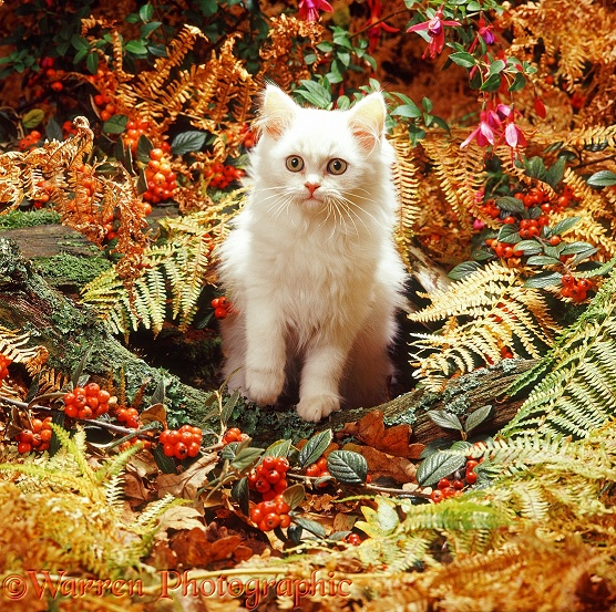 Cream Persian-cross kitten among autumn bracken and berries