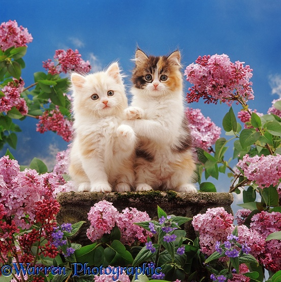 Two kittens, cream and tortoiseshell Persian-cross, among flowering Lilac with blue flowers of Green Alkanet and blue sky