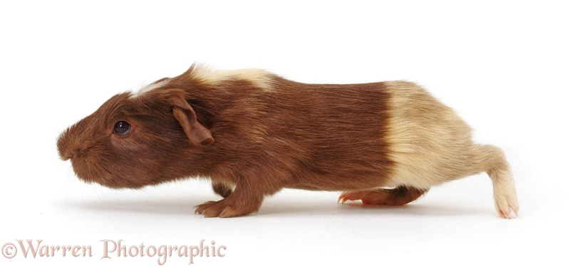 Brown-and-cream baby Guinea Pig, 1 week old, running across, white background
