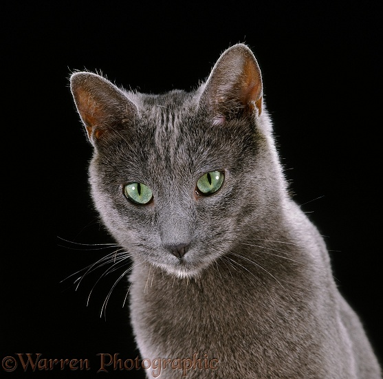 Russian Blue female cat on black background