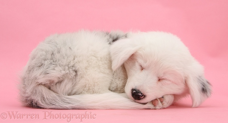 Mostly white Border Collie pup, Gracie, 8 weeks old, sleeping on pink background