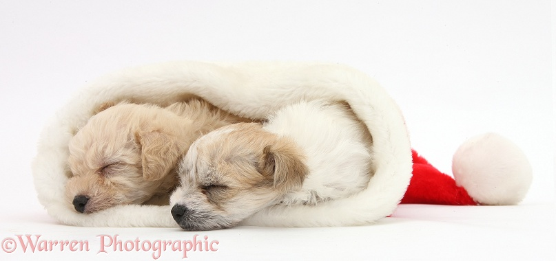 Bichon Frise x Yorkshire Terrier pups, 6 weeks old, sleeping in a Father Christmas hat, white background