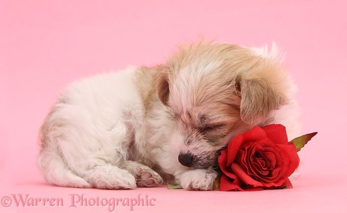Bichon Frise x Yorkshire Terrier pup, 6 weeks old, sleeping with red rose on pink background