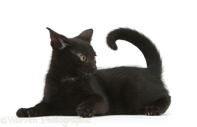 Cheeky looking playful black kitten